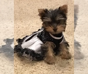 Yorkshire Terrier Breeder in STANTON, MO