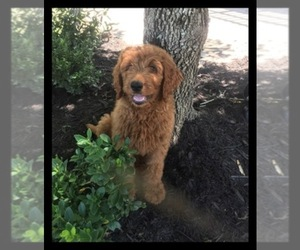 Main photo of Goldendoodle-Poodle (Standard) Mix Dog Breeder near KNOXVILLE, TN, USA