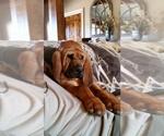 Bloodhound Breeder in CALHOUN, GA