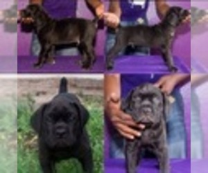 Main photo of Cane Corso Dog Breeder near TAMPA, FL, USA