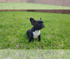French Bulldog Breeder in CYPRESS, TX