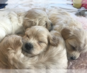 Maltese-Maltipoo Mix Dog Breeder in DUPONT,  USA