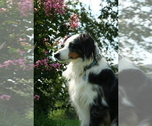 Main photo of Miniature Australian Shepherd Dog Breeder near BELLE CENTER, MO, USA