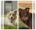 Australian Shepherd Breeder in Greensburg, KY