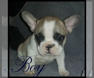 Main photo of French Bulldog Dog Breeder near PACOIMA, CA, USA