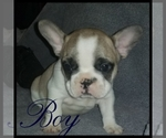 French Bulldog Breeder in PACOIMA, CA, USA
