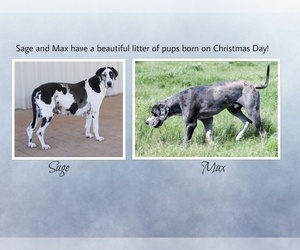 Main photo of Great Dane Dog Breeder near NOCONA, TX, USA