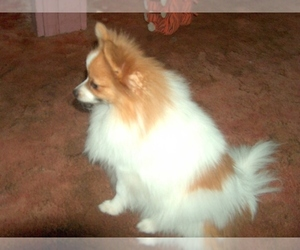 Main photo of Pomeranian Dog Breeder near SKIATOOK, OK, USA