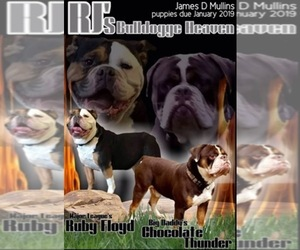 Main photo of Olde English Bulldogge Dog Breeder near CYNTHIANA, IN, USA