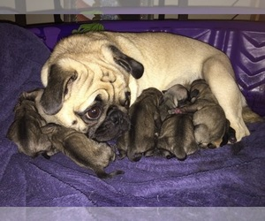 Pug Breeder in ALMA, MI
