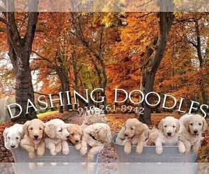 Goldendoodle-Poodle (Standard) Mix Dog Breeder in ZEBULON,  USA