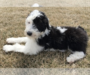 Main photo of Sheepadoodle Dog Breeder near GRANT CITY, MO, USA
