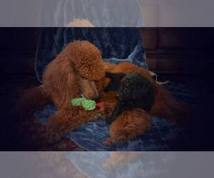Main photo of Poodle (Standard) Dog Breeder near CLEARWATER, FL, USA