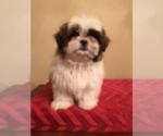Bichon Frise-Poodle (Standard) Breeder in HAMPSHIRE, IL