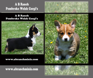 Pembroke Welsh Corgi Breeder in SOLDIERS GROVE, WI