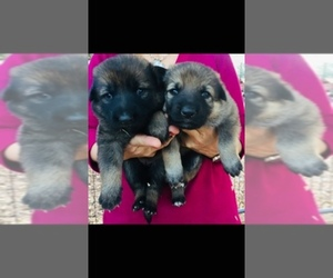 Main photo of German Shepherd Dog Dog Breeder near NEW BRAUNFELS, TX, USA