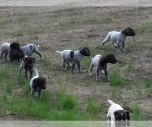 German Shorthaired Pointer Dog Breeder in FLEETWOOD,  USA
