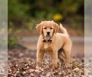 Main photo of Goldendoodle Dog Breeder near MALVERN, AR, USA