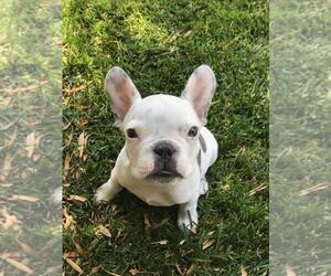 Main photo of French Bulldog Dog Breeder near ELK GROVE, CA, USA