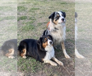 Main photo of Australian Shepherd Dog Breeder near HOLDENVILLE, OK, USA