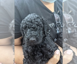 Main photo of Poodle (Standard) Dog Breeder near MENLO PARK, CA, USA