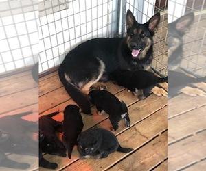 Main photo of German Shepherd Dog Dog Breeder near STATESBORO, GA, USA