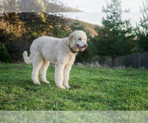 Main photo of Komondor-Poodle (Standard) Mix Dog Breeder near BLACK MOUNTAIN, NC, USA