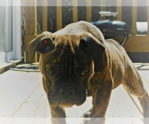 Olde English Bulldogge Breeder in CHARLOTTE, NC, USA