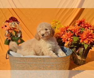 Poodle (Standard) Dog Breeder near COVINGTON, GA, USA