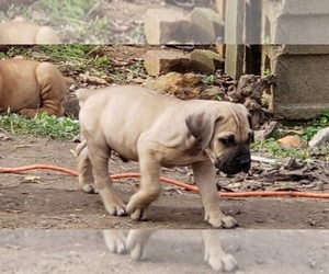 Main photo of Boerboel Dog Breeder near HUNTINGDON, TN, USA
