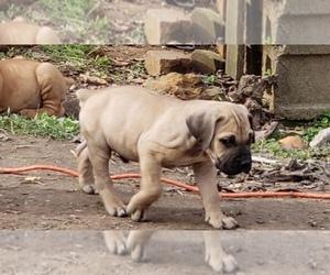 Boerboel Dog Breeder near HUNTINGDON, TN, USA