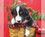 Border Collie Breeder in WINCHESTER, VA, USA