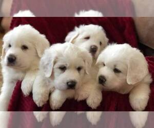 Great Pyrenees Dog Breeder near DEERFIELD, OH, USA