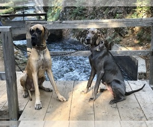 Great Dane Dog Breeder in TWAIN HARTE,  USA