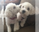 Maltipoo Breeder in CLOVIS, CA, USA
