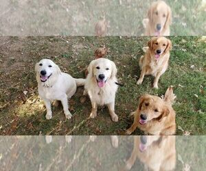 Golden Retriever Dog Breeder in SELLERSBURG,  USA