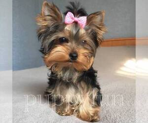 Main photo of Yorkshire Terrier Dog Breeder near Kyiv, Kyiv City, Ukraine