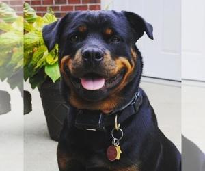 Main photo of Rottweiler Dog Breeder near HAUBSTADT, IN, USA
