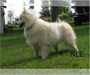 American Eskimo Dog Dog Breeder in CAMPBELL,  USA