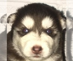 Siberian Husky Breeder in SALEM, OR, USA