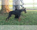 Doberman Pinscher Breeder in POLK, NE, USA
