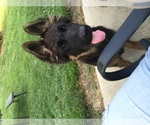 German Shepherd Dog Breeder in WILLIAMSPORT, OH, USA