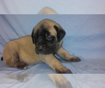 Mastiff Breeder in MARKLE, IN, USA