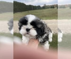 Shih Tzu Dog Breeder in CADILLAC,  USA