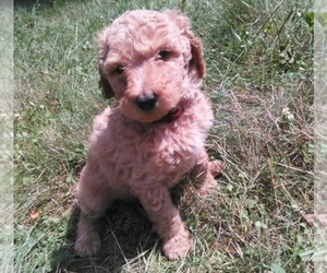 Main photo of Poodle (Standard) Dog Breeder near MUNITH, MI, USA