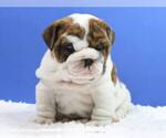 Bulldog Breeder in DALLAS, TX
