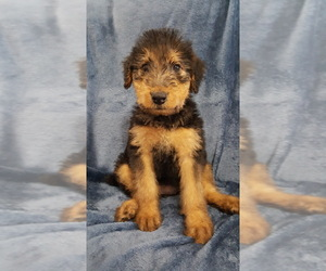 Airedale Terrier Dog Breeder near BURLESON, TX, USA