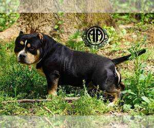 American Bully Dog Breeder in CONYERS,  USA