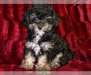 Main photo of Poodle (Toy) Dog Breeder near HARTFORD, AR, USA
