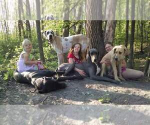 Great Dane Breeder in LENGBY, MN, USA
